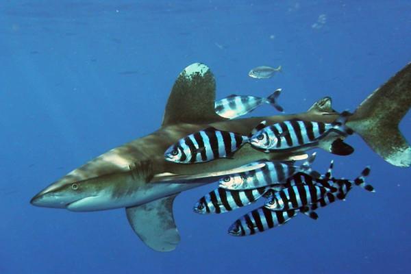 Őket se bántják a cápák – rossz az ízük.