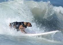 surf-dogs-wave-bre_2356047k