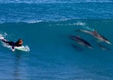 surfdoplhin